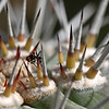Ant on cactus