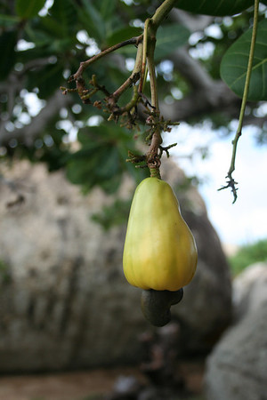 Cashew tree fruit (Anacardium occidentale)