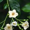 Strongbark blossom (Bourreria P.Browne)