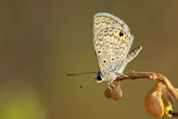 Common blue (Hemiargus hanno) butterfly