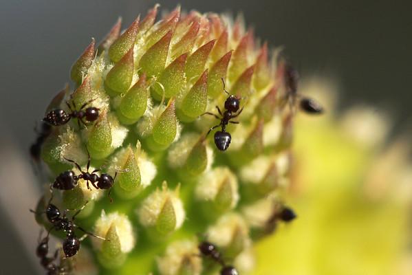 Ants on Opuntia curassavica