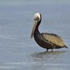 Brown pelican (Pelecanus occidentalis) at Baranca Sunu
