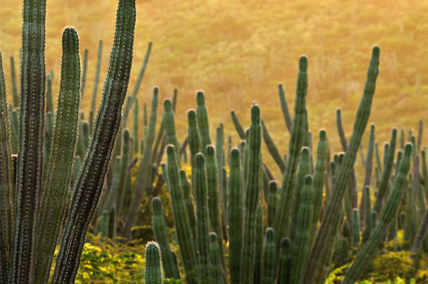 Candle cactus (Stenocereus griseus) in Miralamar, Parke Nacional Arikok