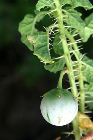 Solanum agrarium