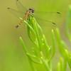 Dragonfly (Erythrodiplax sp.), Parke Nacional Arikok