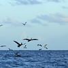 Brown pelicans (Pelecanus occidentalis) feeding at Baranca Sunu