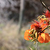 Flowers of the Erythrina velutina tree