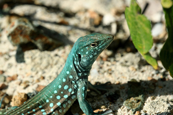 Aruba whiptail lizard (Cnemidophorus arubensis)
