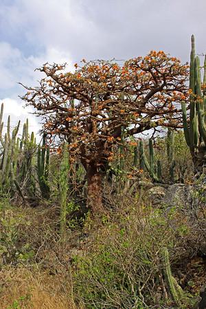 Erythrina velutina tree