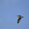 Osprey (Pandion haliaetus) flying on Aruba's southern coast