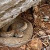 Aruba island rattlesnake (Crotalus unicolor)