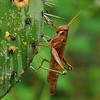 Grasshopper at Cero Arikok Hill, Parke Nacional Arikok