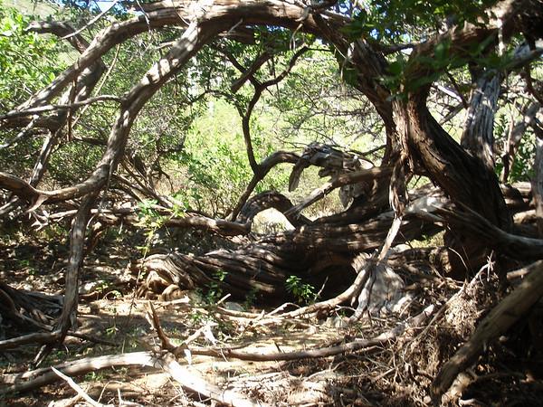 Aruba vegetation