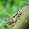 Striped anole (Anolis lineatus) with dewlap in full view