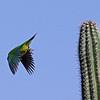 Brown-throated parakeet (Aratinga pertinax) taking off