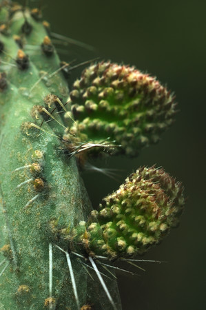 Prickly pear (Opuntia wentiana)