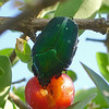 Green beetle eating the fruit of a West Indian cherry tree (Malpighia emarginata)