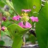 Flowers of the West Indian cherry (Malphigia emarginata)