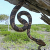Baker's cat-eyed snake (Leptodeira bakeri)