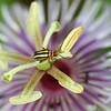 Beetle on passion flower (Passiflora foetida)