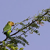 Brown-throated parakeet (Aratinga pertinax)