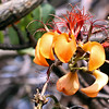 Flowers of the Erythrina velutina tree