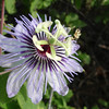 Passion flower (Passiflora foetida)