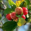 West Indian cherry (Malphigia emarginata)