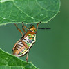 Insect on leaf at rooi prins