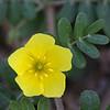 Wanglo flower