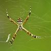 Silver garden spider (Argiope argentata)
