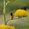 Troupial (Icterus icterus) on agave flowers