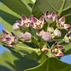 Giant milkweed/French cotton (Calotropis procera)