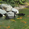 Some of the beautiful black swans and huge koi on Hyatt's property.