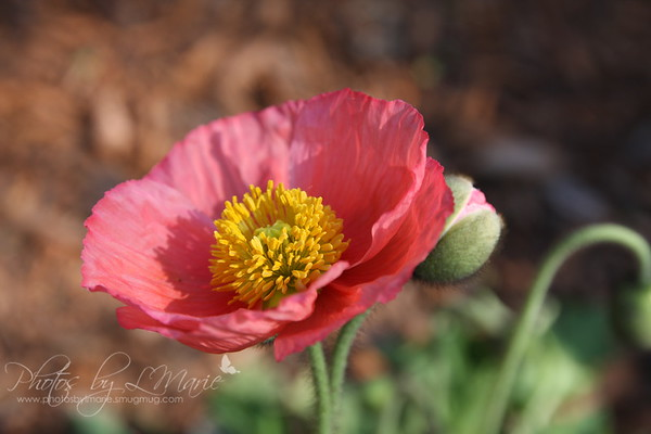 As the Poppies Bloom