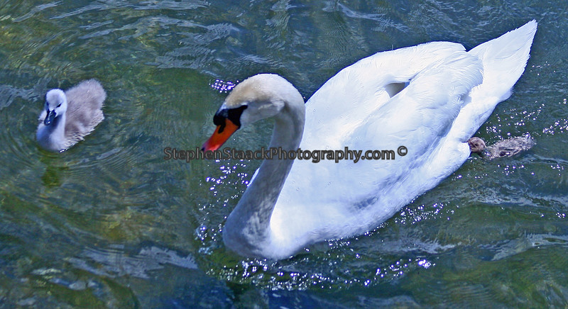 Two Mute Swans.