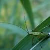 GL's Grasshopper copy