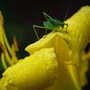 Grasshopper1 5