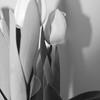 Tulips 1E
