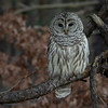 Barred Owl front