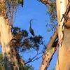 Eucalyptus CJS