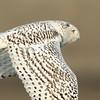 Snowy Owl 9535b