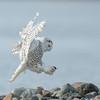Snowy Owl 9598
