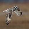 Short-Eared Owl 9796 13x19