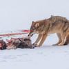 Coyote with Deer 8802
