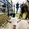 Animals from Hollis Farm in New Hampshire hang out on the common during the Ashby Pumpkin Fest on Saturday afternoon. SENTINEL & ENTERPRISE / Ashley Green