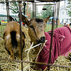 A goat from Hollis Farm munches on grass during the Ashby Pumpkin Fest on Saturday afternoon. SENTINEL & ENTERPRISE / Ashley Green