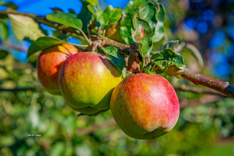 Apple Delights