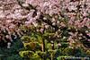 Cherry Blossom Cascade