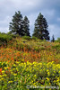 Mount Ashland Wildflowers